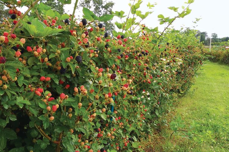 berry breeding