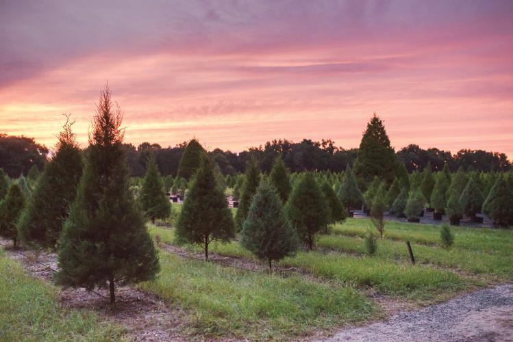 Florida agritourism; Christmas tree farm