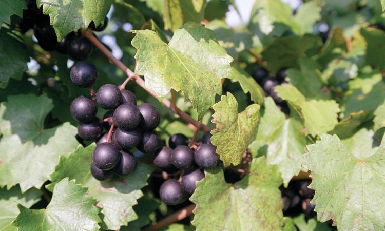 Florida agritourism; winery