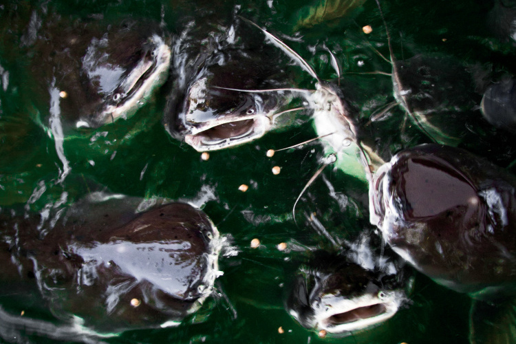 North Carolina catfish contribute more than $12 million per year to the aquaculture industry