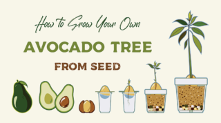 how to grow an avocado tree from the pit