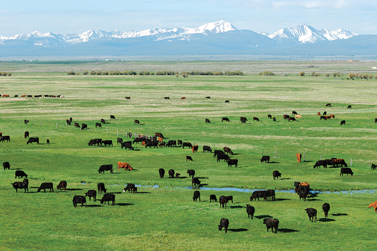 Image result for cows in montana